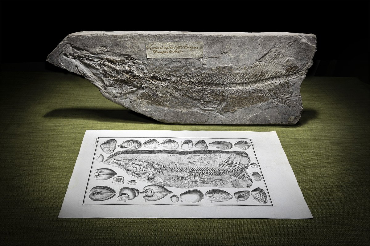 A special treat for #FossilFriday - J.J. Scheuchzer's fossil Oehningen pike (Esox lepidotus) & the print of it from Physica Sacra (1731-35). I love the name it had back then, 'Lucius Antediluvianus'. Also: This fish was the first to tell the world its own story as a fossil.