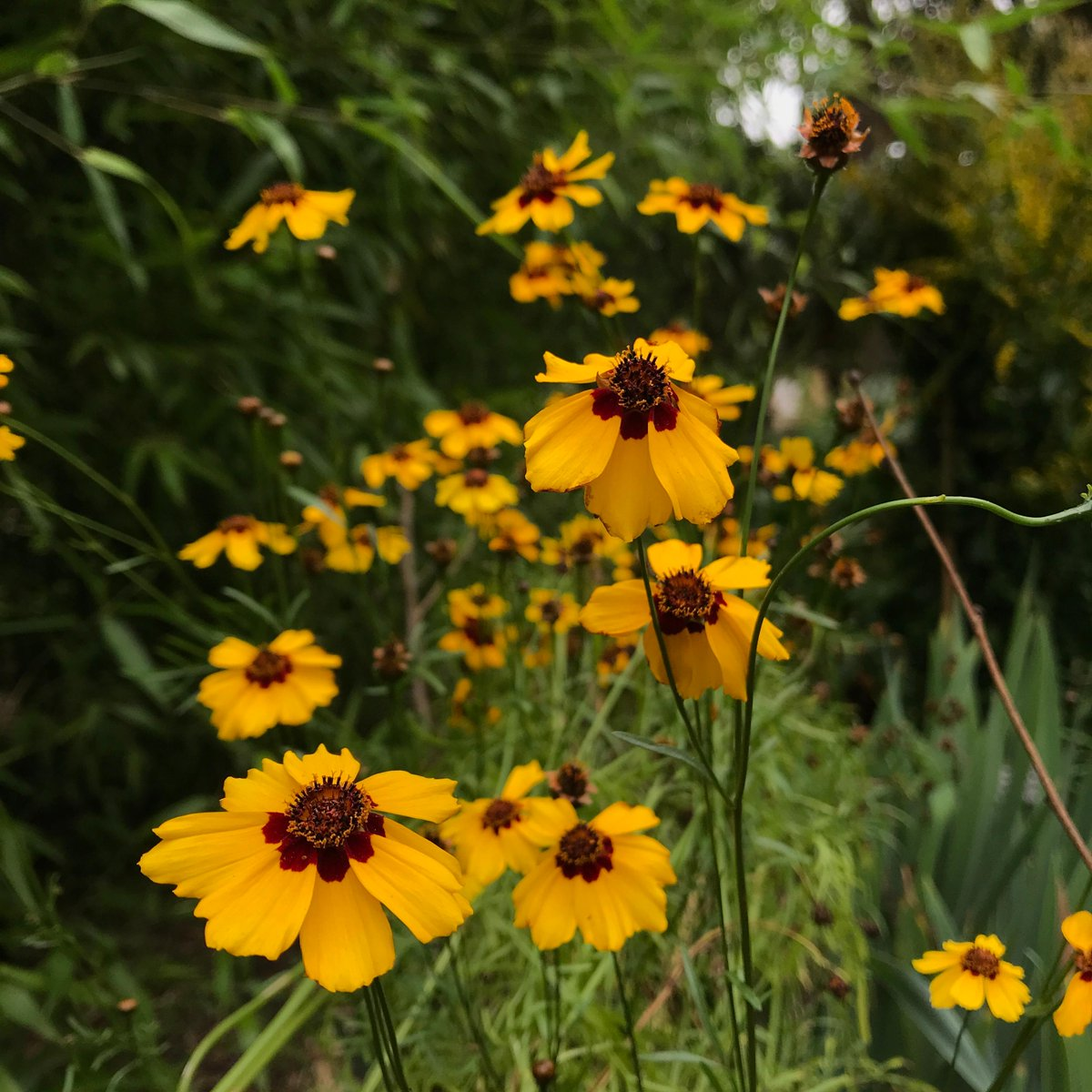 Coreopsis tinctoria is also known as Dyer's tickseed. Originating from North America, this plant can be used for dying and are grown for the colour pigments contained in its flowers. #botanicgarden #gardens #plants #horticulture
