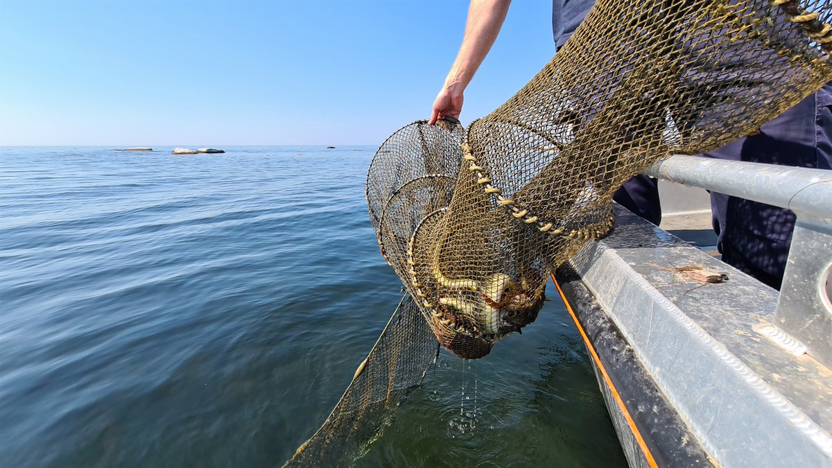 De senaste fem åren har fiskerikontrollanterna vid @havochvatten tagit upp och förverkat över tusen illegala ålryssjor. Ålen är akut hotad och får bara fiskas av dem som har tillstånd. https://t.co/SUwqHKEFbl #ålfiske #Östersjön #biologiskmångfald #havsmiljö #fiskerikontroll https://t.co/OX1oiJOC83