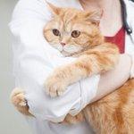 猫の飼い主さんにぜひ知っておいてほしい!「特発性膀胱炎」を予防するための方法!