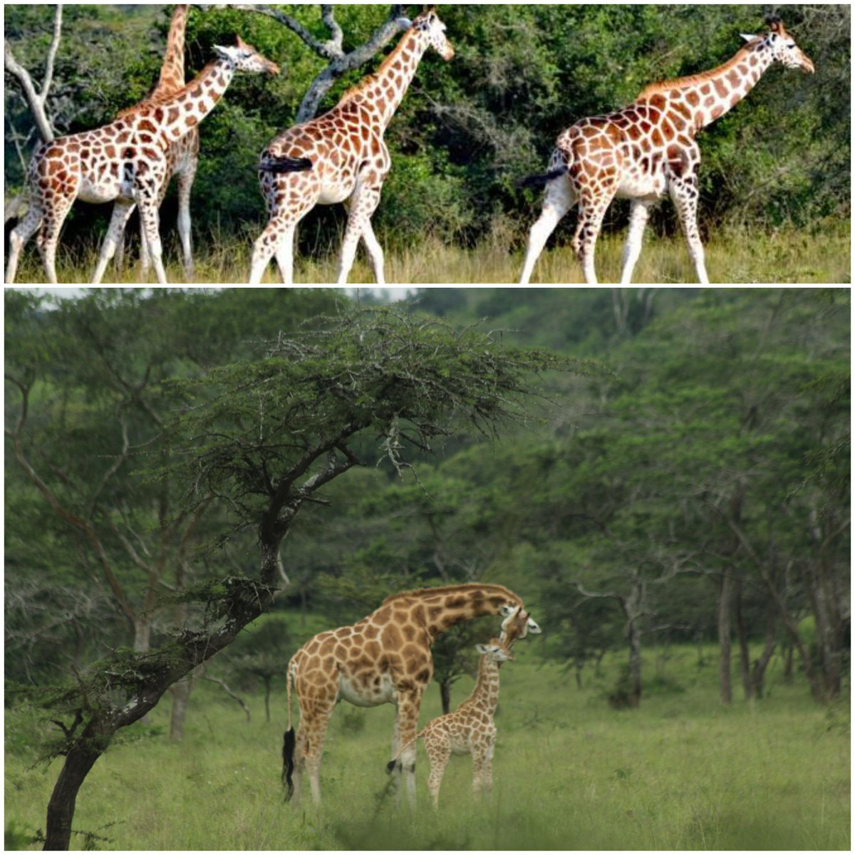NEWS!!GOOD NEWS!!Another baby Giraffe has been born totalling to 36!!!since their translocation to Lake Mburo National Park. #VisitUganda  #Tulambuleuganda  #LakeMburonationalpark #Tulambulewild