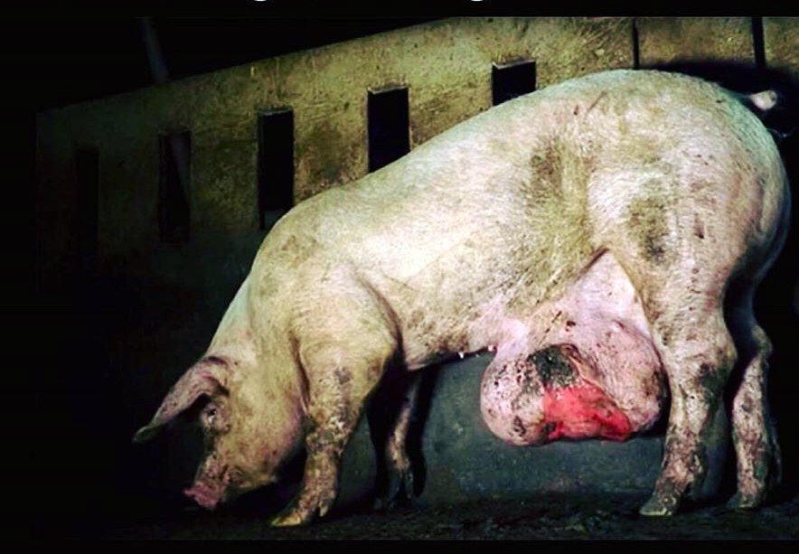In farms, it is commonplace for very sick and injured animals to be left untreated in the hope that they will survive until they reach the slaughterhouse.  Stop Supporting Animal Cruelty GoVegan🌱🌎  #AnimalRights  #GoVegan #EndSpeciesism #Vegan #RosesLaw https://t.co/69b0nBiDUK