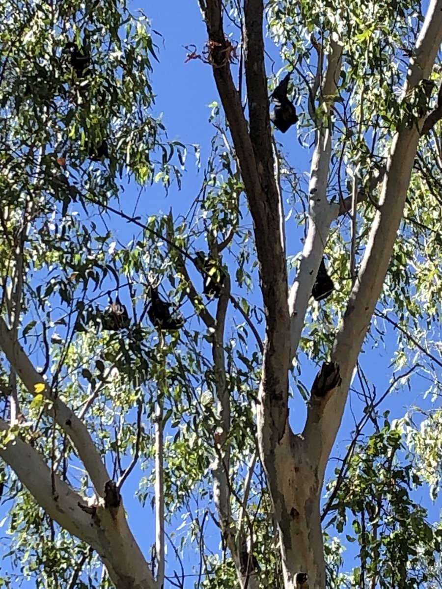 There is a very healthy & noisy colony of Fruit Bats 🦇 in the trees near the Nitmiluk National Park Visitor's Centre. The stunning views start before you get to the river ##Nitmiluk #NationalPark #Bats #Bature #bushscape #river #NTaustralia #boats #holidays #Tourism #photograghy https://t.co/M3EKyGGzAh