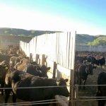Image for the Tweet beginning: The shrinking cow herd, feedlot