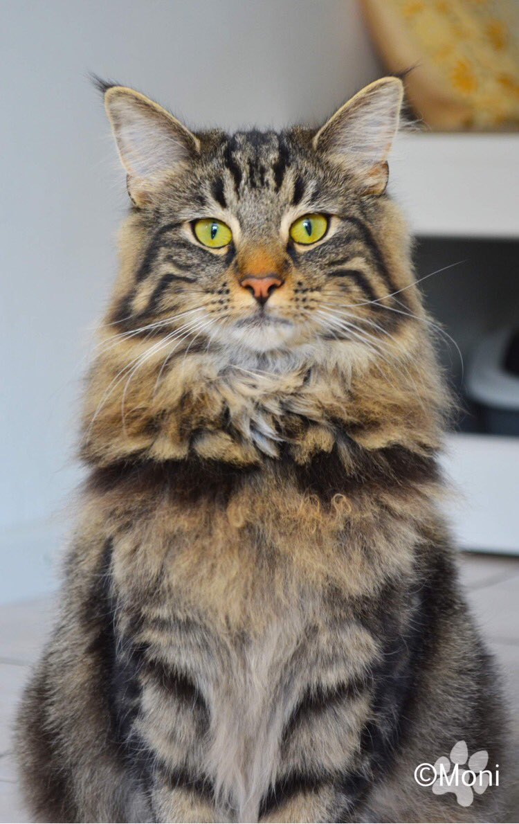And here Teela v. Rehbusch from my friend. She's truly a princess 👸 💓 #cat #Caturday #catpic #norwegianforestcat #photography #animalphotography https://t.co/TRpNUNRDin