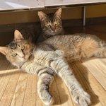 Image for the Tweet beginning: .  ˗ˋˏ 🐈 譲渡会のお知らせ 🐈⬛ ˎˊ˗ . . 本日は毎週日曜恒例の #保護猫譲渡会