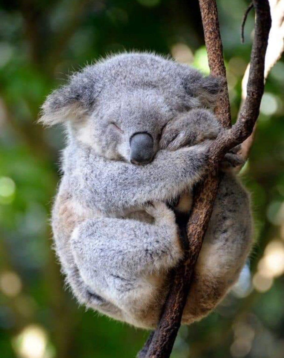 RT @animaux_planete: Le Koala est capable de dormir 22h par jour 🐨 https://t.co/vLzpLFqIrk