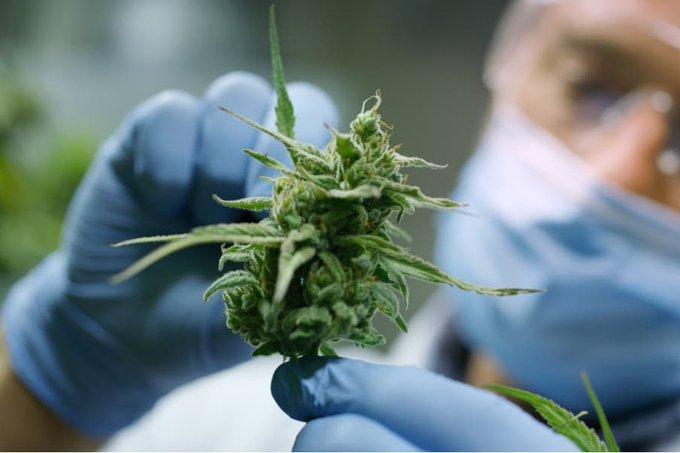 Autorizan la inscripción de variedades de cannabis para uso medicinal.