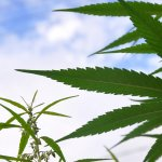 Image for the Tweet beginning: Montana Bill To Implement Marijuana