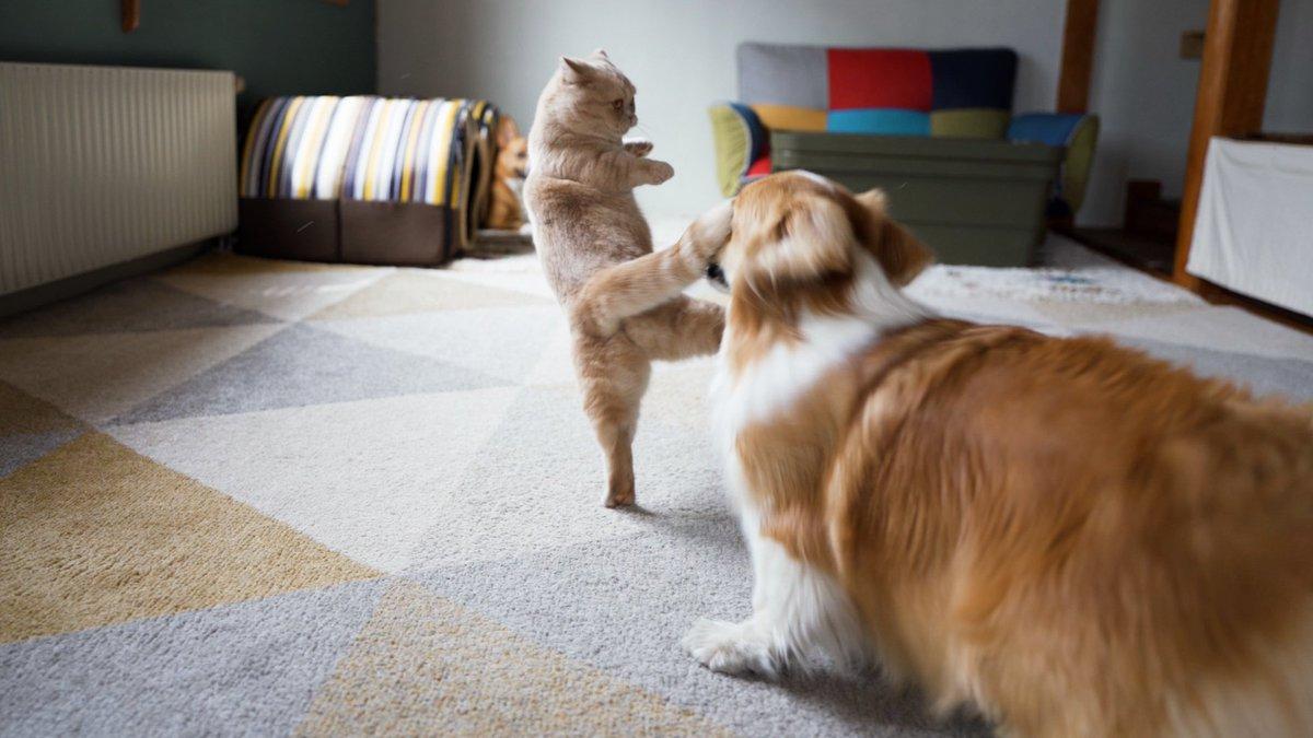 これは避けられない?猫の回し蹴…回しシッポをまともに食らうワンちゃんw