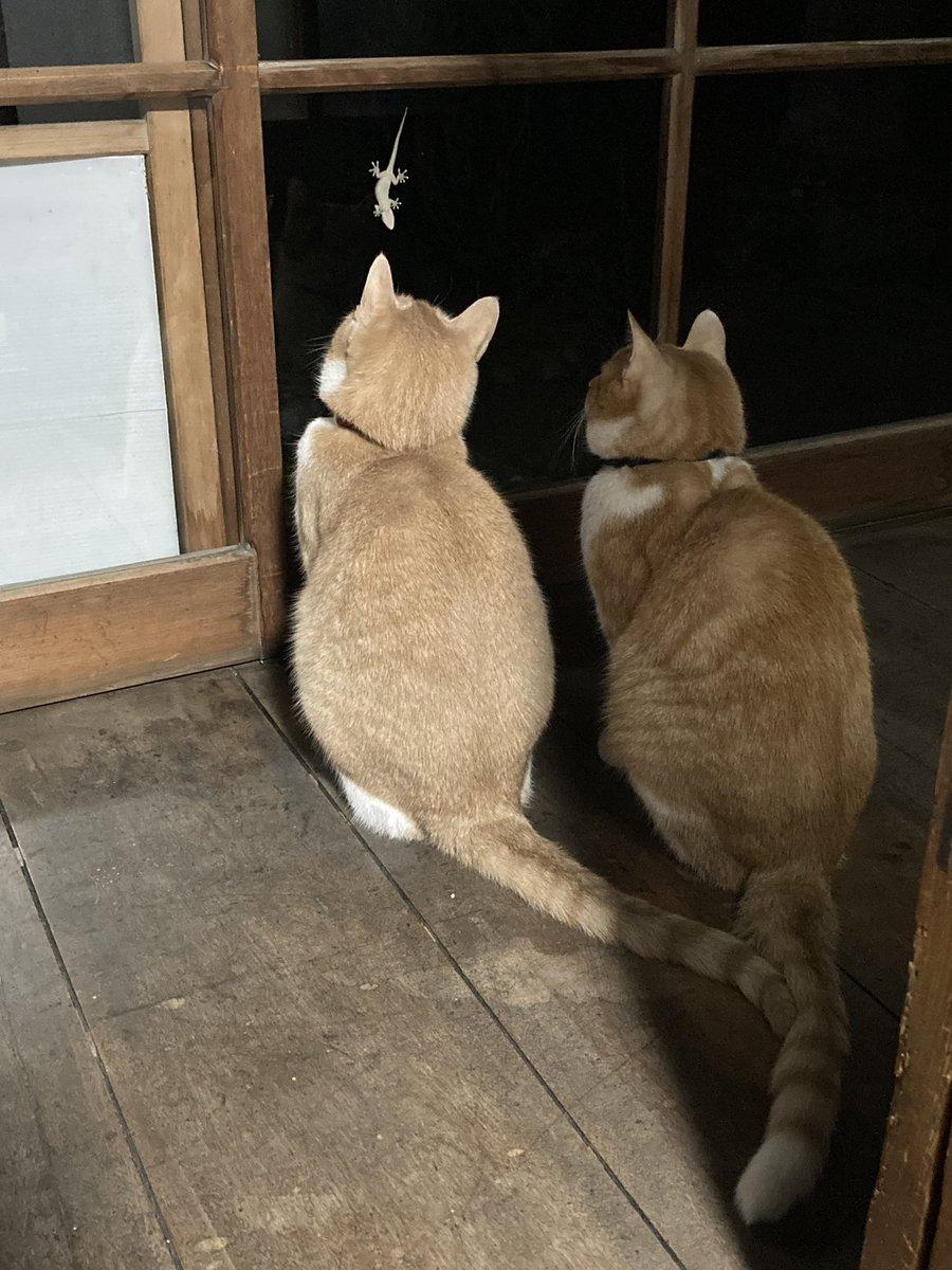 ヤモリ監視中