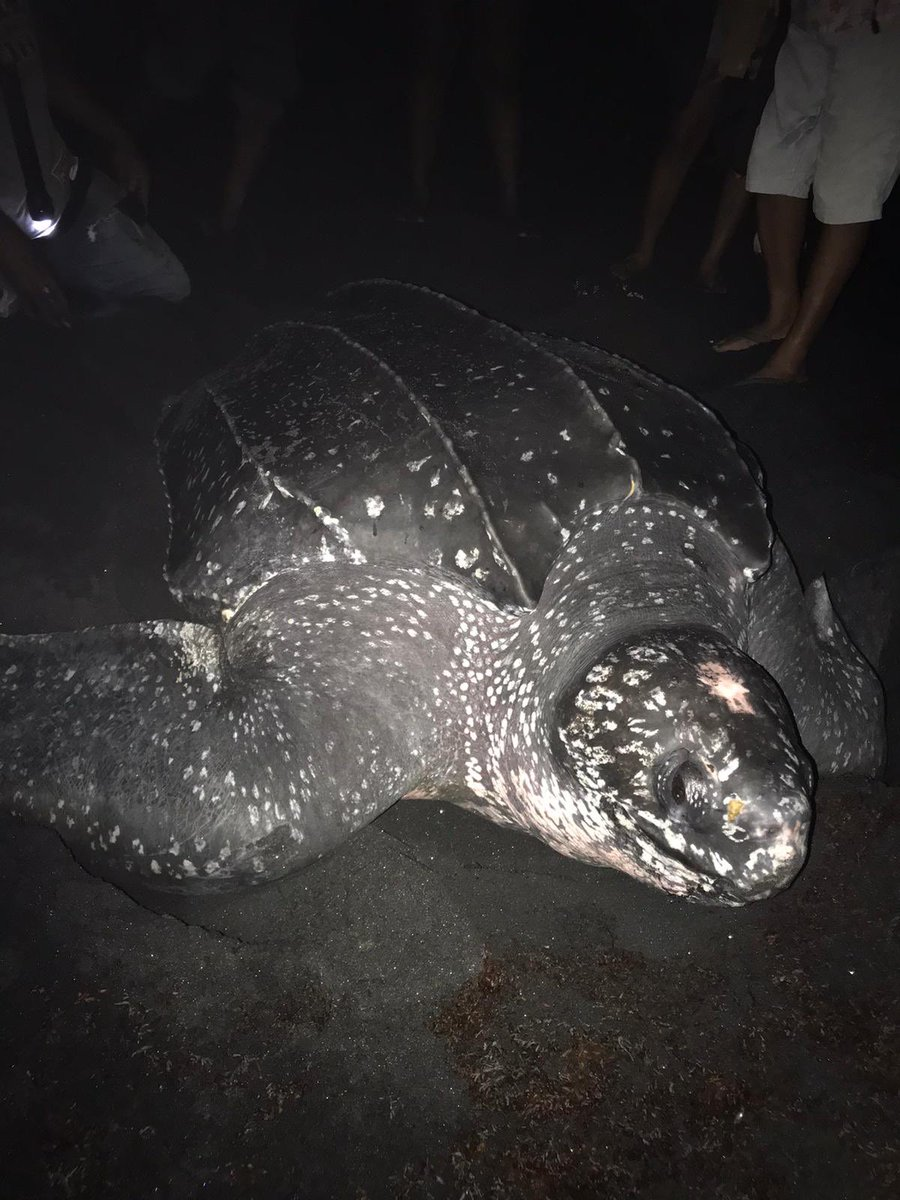 Lovely leatherback nesting last night in Dominica. Protected by the @Domsetco team. https://t.co/oZiwM07aed