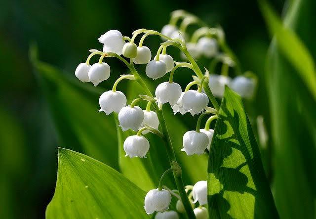 フランスではこの日に家族友人先生等に鈴蘭を贈る習慣があり、贈られた人に幸福が訪れるという。森の守護神セントレオナードが巨大毒蛇に襲われ、退治するも深手を負い、鈴蘭が一斉に咲き傷と心を癒した伝説が由来。北海道の代表的花の一つで花言葉は幸福が帰る、幸福の再来、意識しない美しさ、純粋。