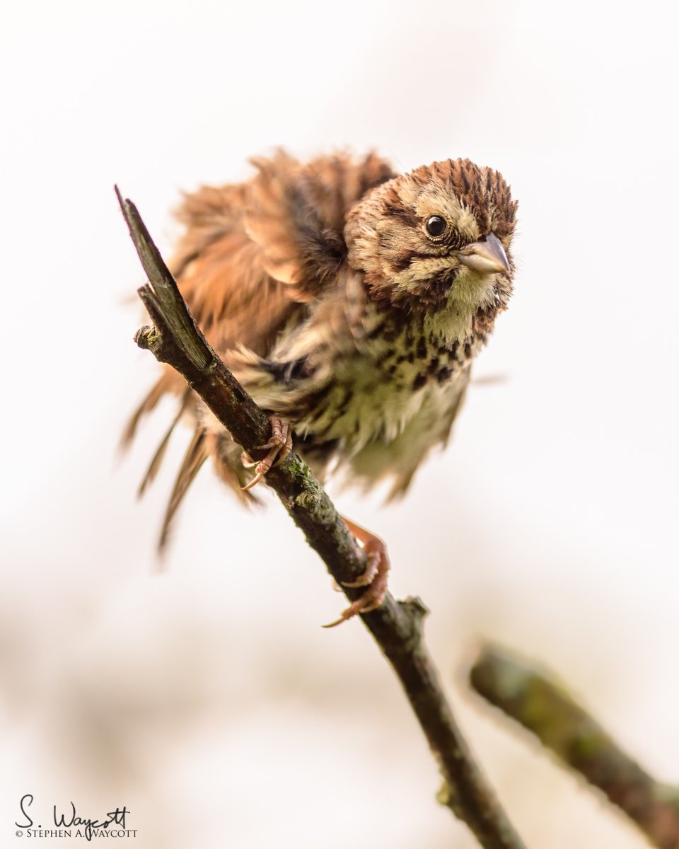 FROM THE ARCHIVES: Spent some time with this disheveled Song Sparrow early one summer morning.  Click/tap for full image.  Moncton, #NewBrunswick, Canada July 2019  #sparrow #SOSP #nature #wildlife #photography #naturephotography #wildlifephotography #Nikon #D850 #Sigma500sport https://t.co/mAqcrWKHt7