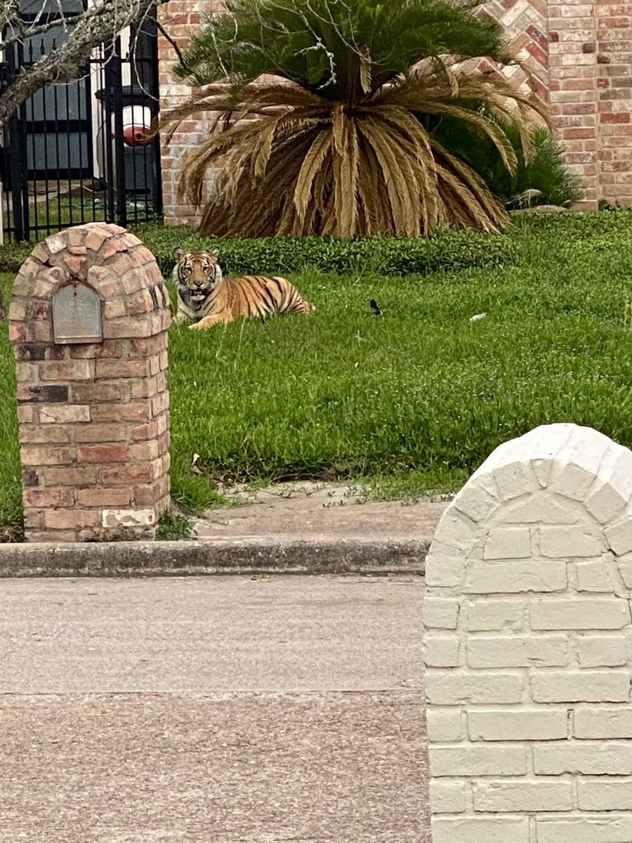 Texas Tiger Still On The Loose Even After Murder Suspect Found | iHeartRadio