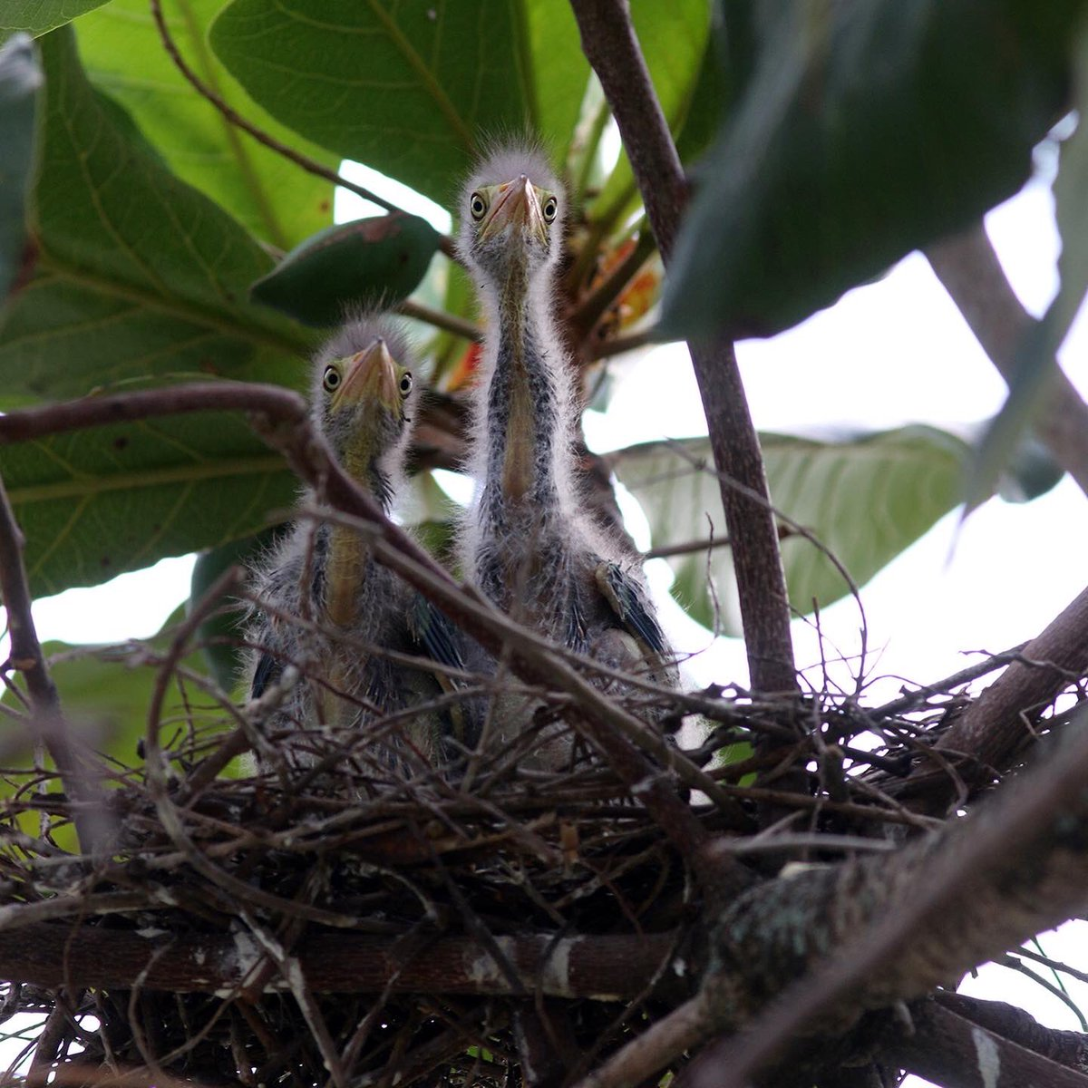 NEST UPDATE!  The chicks have emerged!  When mother green heron leaves to feed the long-necked chicks stare at us.  When she is back she hides them from us https://t.co/gA0tm6OcNz
