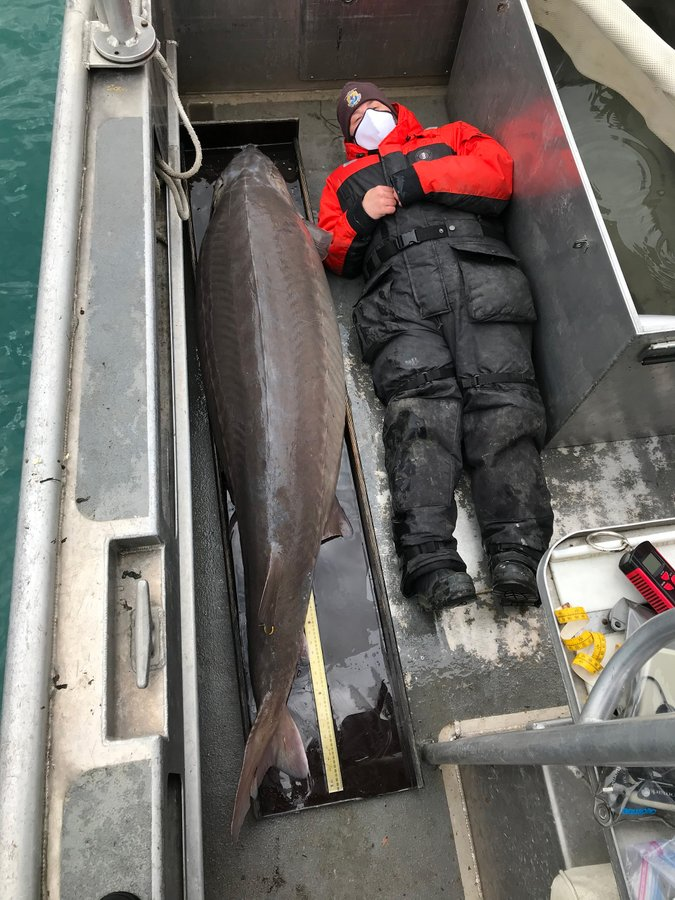Lake sturgeon with crew member for scale