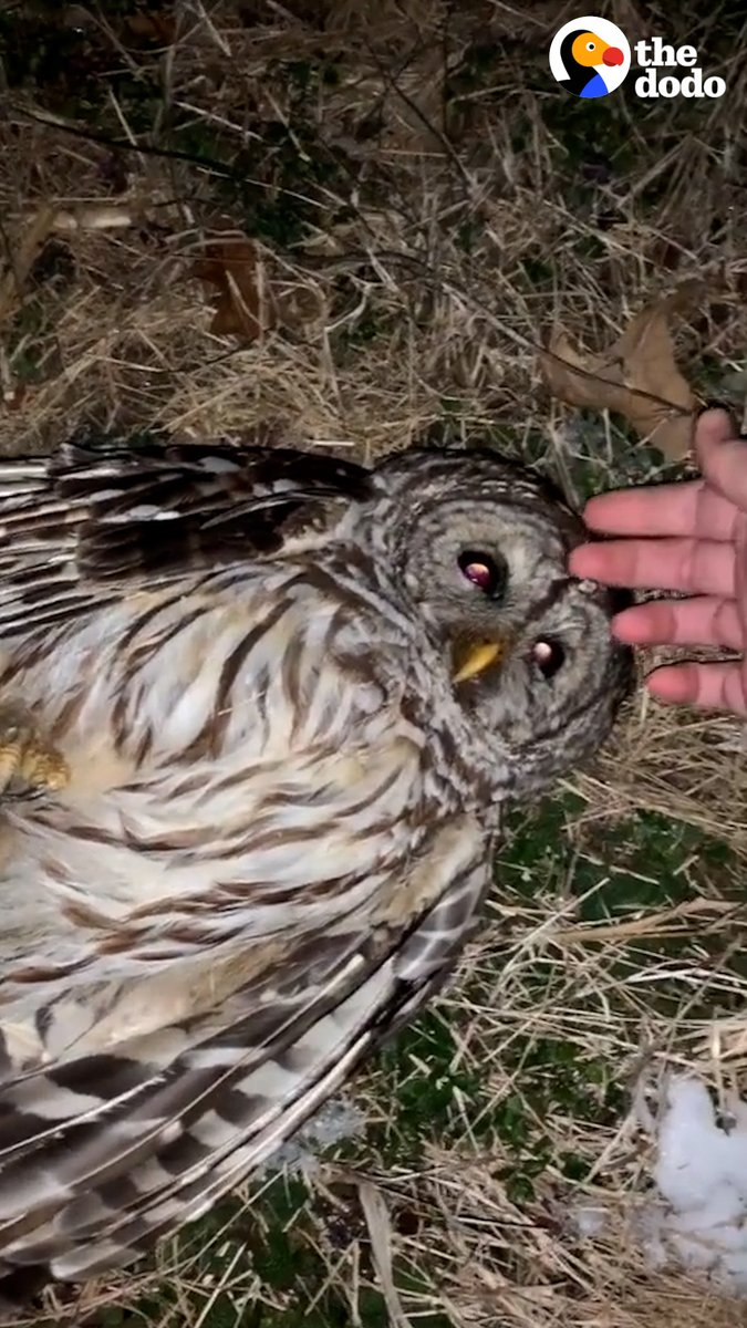 Little owl stares right into his rescuer's eyes moments before being released just to say thank you ♥️ @NurturetoNature https://t.co/CEtblTPJyB