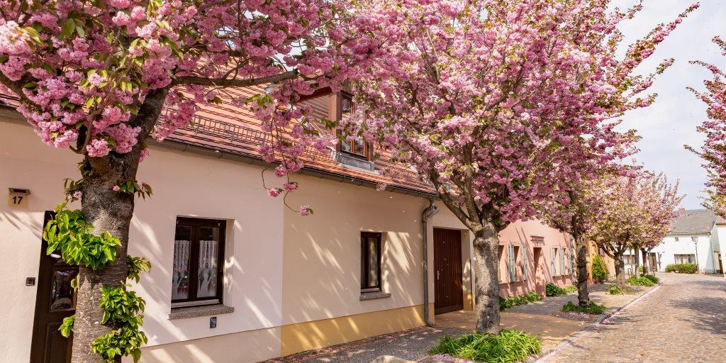 🌺 Wir lieben die Baumblüte.🌺  Werder/Havel. #nachbrandenburg https://t.co/GLBwnlxSs9