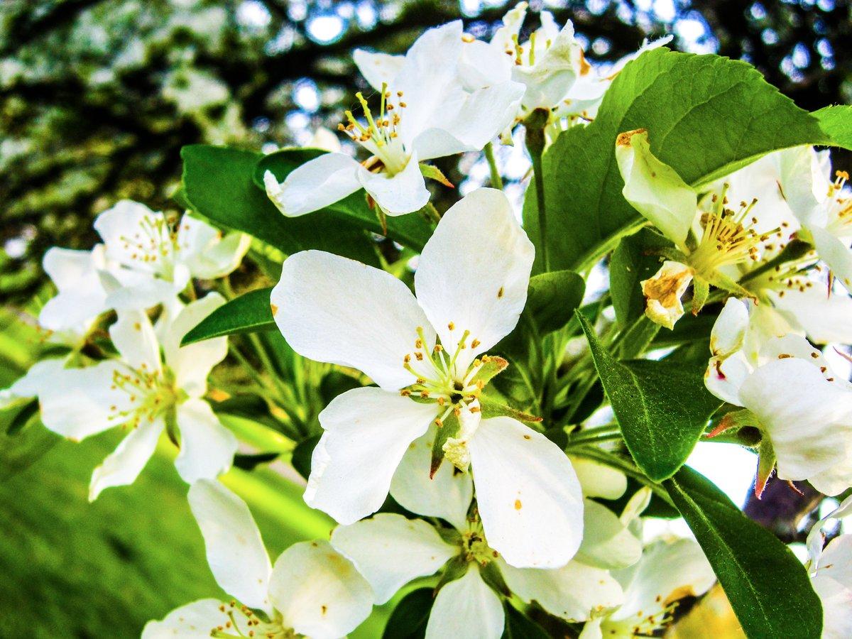 Little White Octopi, Massillon, OH. Canon PowerShot SD980 IS. f/4. 1/125 ET. ISO-100. Edited in Lightroom. #photography #spring https://t.co/lR80SOdWLv