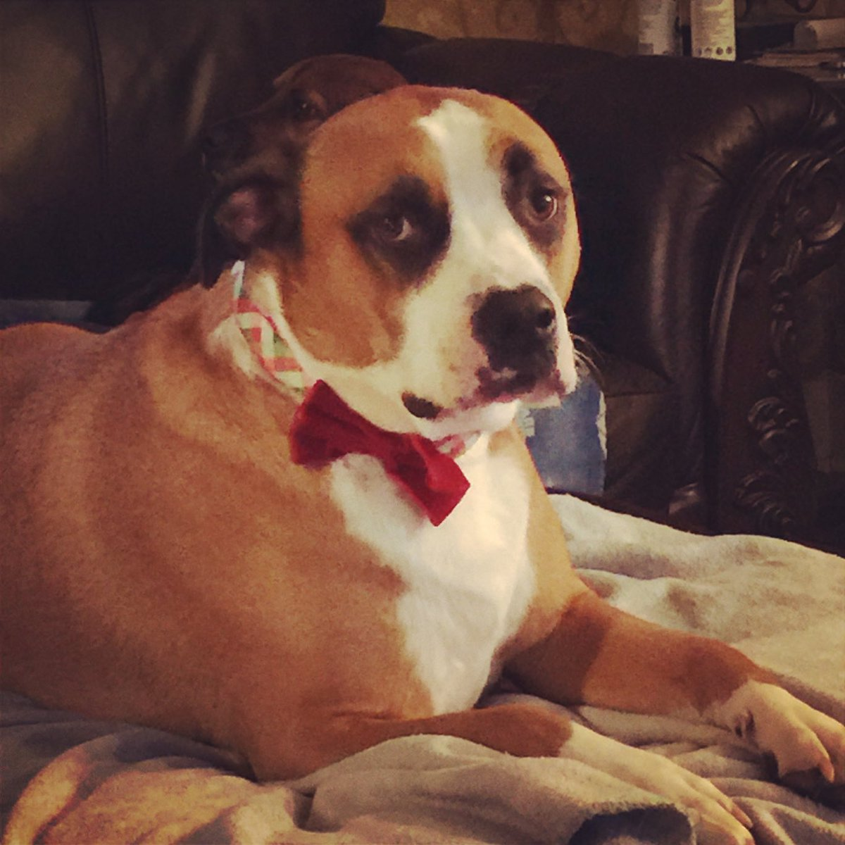 Meet Mr. Moosehead. He is a survivor of dog fighting where he was used as a bait dog. He is a very good boy. #PupweiserContest @budweiserusa @dog_rates https://t.co/BrktEL3O3e
