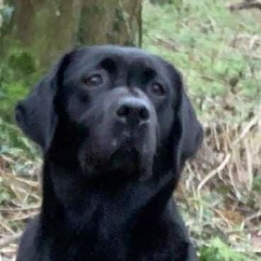 😥💔 PLEASE HELP 😥💔 #Labrador #Stolen #Leicestershire 19.02.21 The devastation this has caused is indescribable.  Please help get this beauty home 😔 #FindPurdey #sheneedstobehome  facebook.com/groups/2843875…