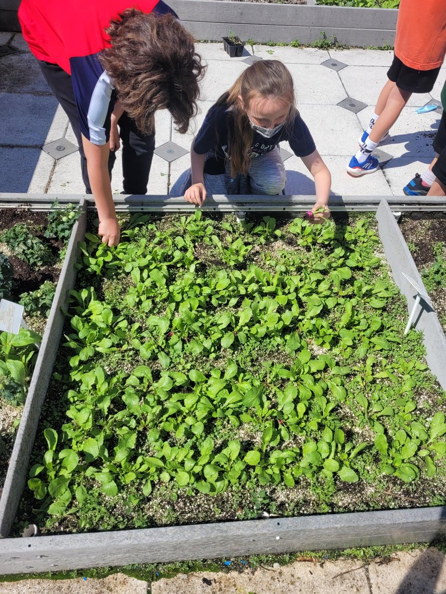 Look at these little rays of ☀️☀️☀️! They are growing AND harvesting their own veggies from their @HickoryHillsSPS rooftop garden!   #supportSPS