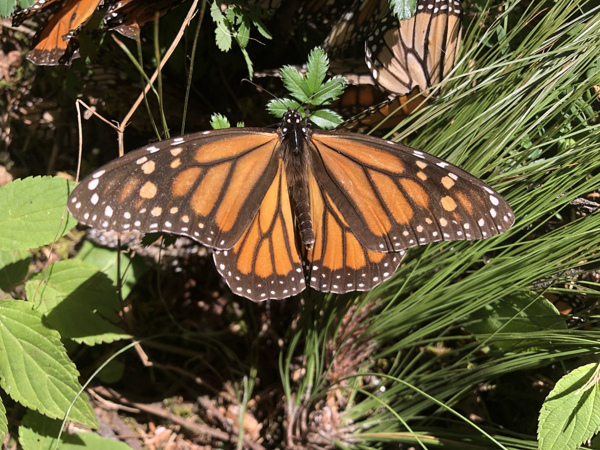 There are now more Starbucks in California than monarchs — only about 1,900 were found in this year's count, where once there were millions. You can help save monarchs. Buy organic food if you can, plant native flowers, and support politicians who care about wildlife. Please. https://t.co/upDfzZMaKu