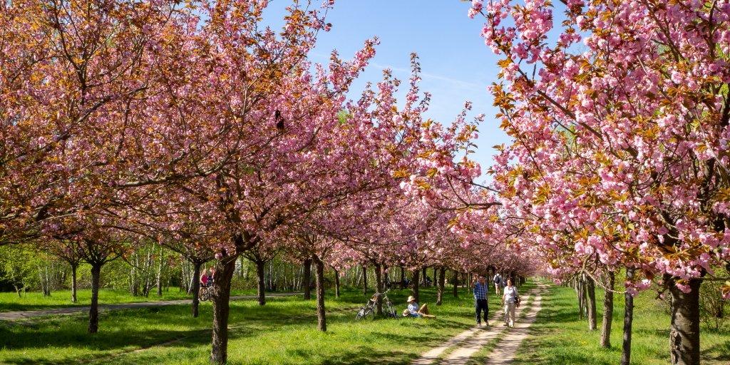 👉 Frühling in Brandenburg.👈  Die Kirschallee entlang des ehemaligen Grenzstreifens in Teltow. #nachbrandenburg https://t.co/fDYF9jFQg2