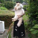 とにかくでかい猫!人間の子供のように大きく成長したハクちゃん