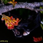 Image for the Tweet beginning: 😍A spectacled flying fox (Pteropus