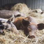 Want to know more about #raising healthy, happy & more profitable #pigs? We're hosting a #free workshop covering all aspects of pig #production on the #CentralCoast later this month. Full details via https://t.co/vuwL1oXtYo