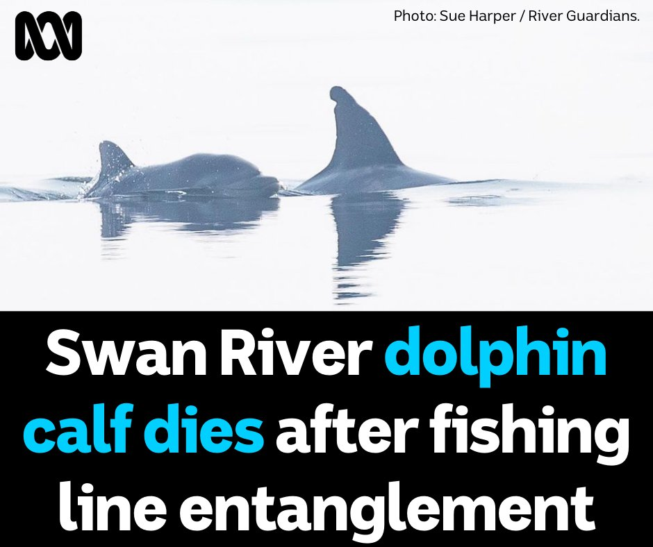 A #dolphin calf in the #SwanRiver has died after becoming severely entangled in #fishingline. 😢🐬 The calf, which belonged to mum Akuna, was reported to DBCA on Sunday morning and was found to have fishing line severely entangled around both its pectoral fins and its peduncle 😡 https://t.co/0BW4EGI26D