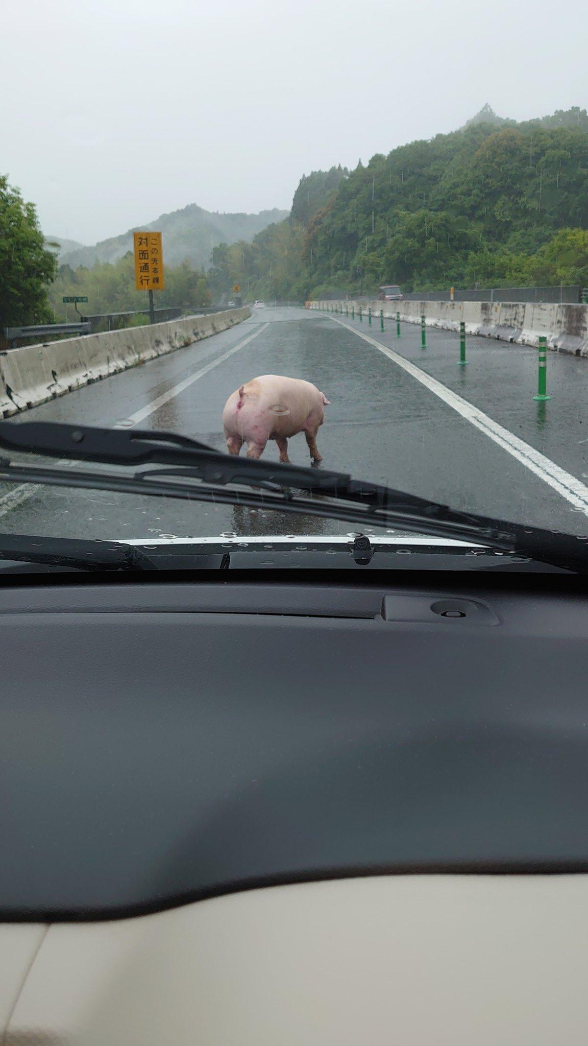 南九州道の日奈久付近に豚が巡回している画像