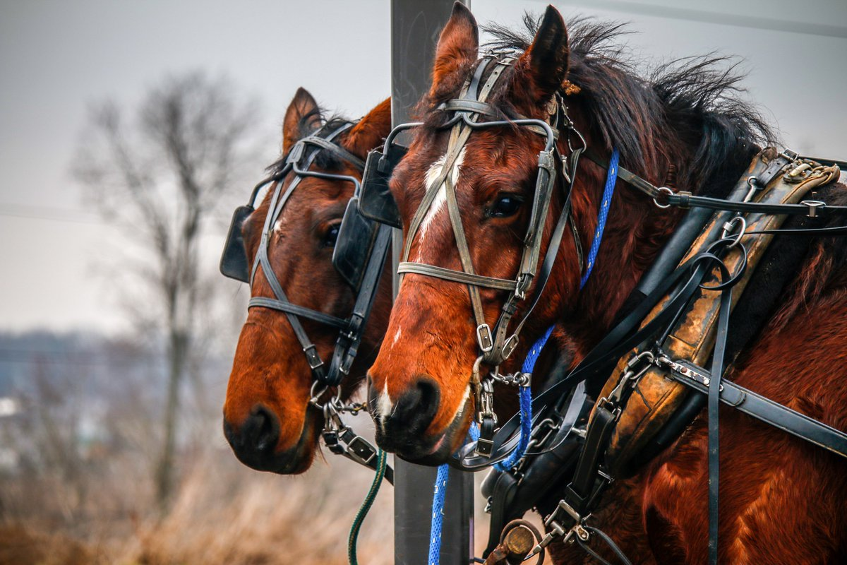 Amish Horses. Massillon, OH. Canon 70D. f/5.6. 1/50 ET. ISO-160. Edited in Lightroom & Photoshop. #photography #horses https://t.co/071CXrYJ2E