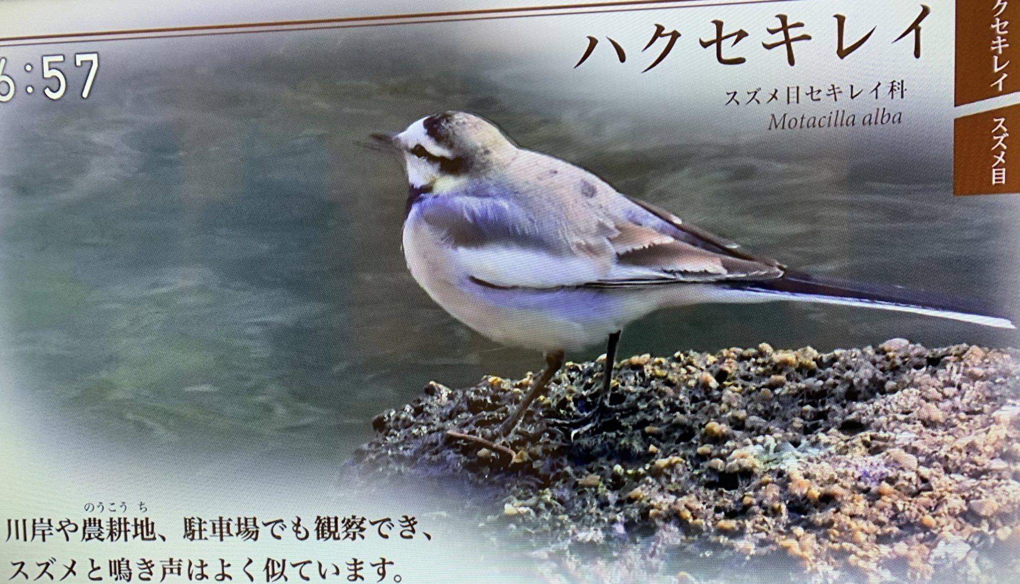 鳴き声 ハクセキレイ ハクセキレイの鳴き声【野鳥図鑑・鳴き声図鑑】Motacilla alba
