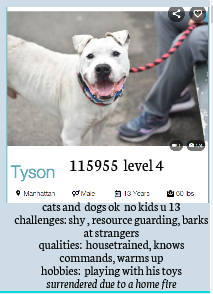 PRIORITY MEDICAL - SENIOR IN NEED -  13 yr old TYSON likes cats and dogs and needs some TLC. A home in the N-E between Virginia and Maine would be perfect for this old gent.  apply:  Further info and assistance, send a message to