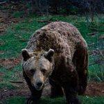 Image for the Tweet beginning: Fan Photo Friday! Kuterevo, Bear Sanctuary If