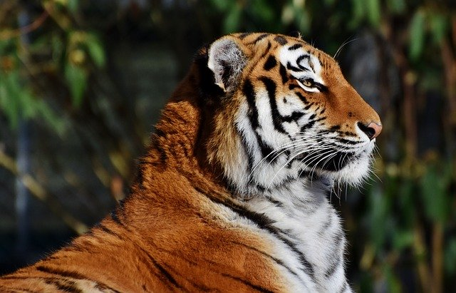 Tigers have more rods (responsible for visual acuity for shapes) in their eyes than cones (responsible for color vision), which allows them to detect movement of prey in darkness where color vision would not be useful (x6 better night vision than humans!)  #EyeFact #FridayFact