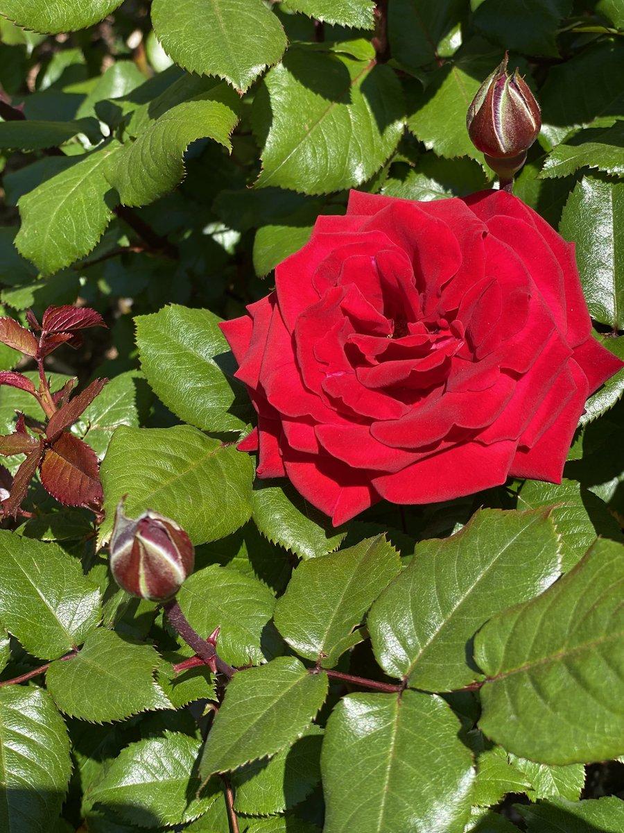 Rose, from the @UN Rose Garden https://t.co/ihsoPwUneu