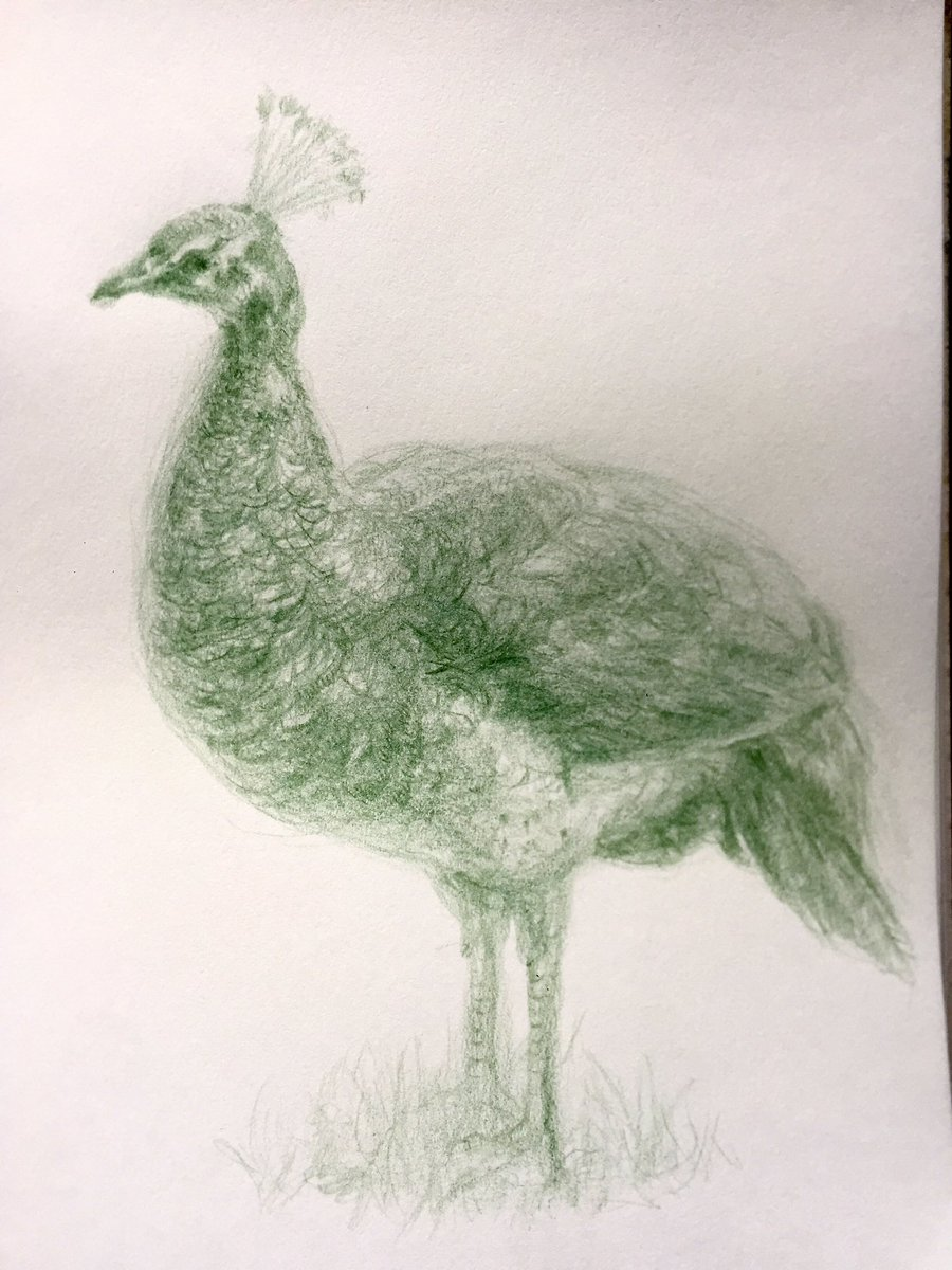 🍀今日の生きもの🍀 後ろの茂みから可愛いメスのインドクジャクがやってきた🥰園内は孔雀たちが放し飼いなのですぐ近くを散歩してる🦚 #インドクジャク #伊豆シャボテン動物公園 #peacock #孔雀 #色鉛筆 #イロエンピツ #スケッチ #sketch #drawing #鳥が好きな人と繋がりたい #絵描きさんと繋がりたい