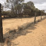 """""""Murder on the Rabbit Proof Fence"""" Weekend reading sorted now that I'm back on this side of the Rabbit Proof Fence (not far from Ninghan Station & Charles Darwin Reserve) #BadimiaCountry #TheGreatSandalwoodTransect  #SantalaceaeScience"""
