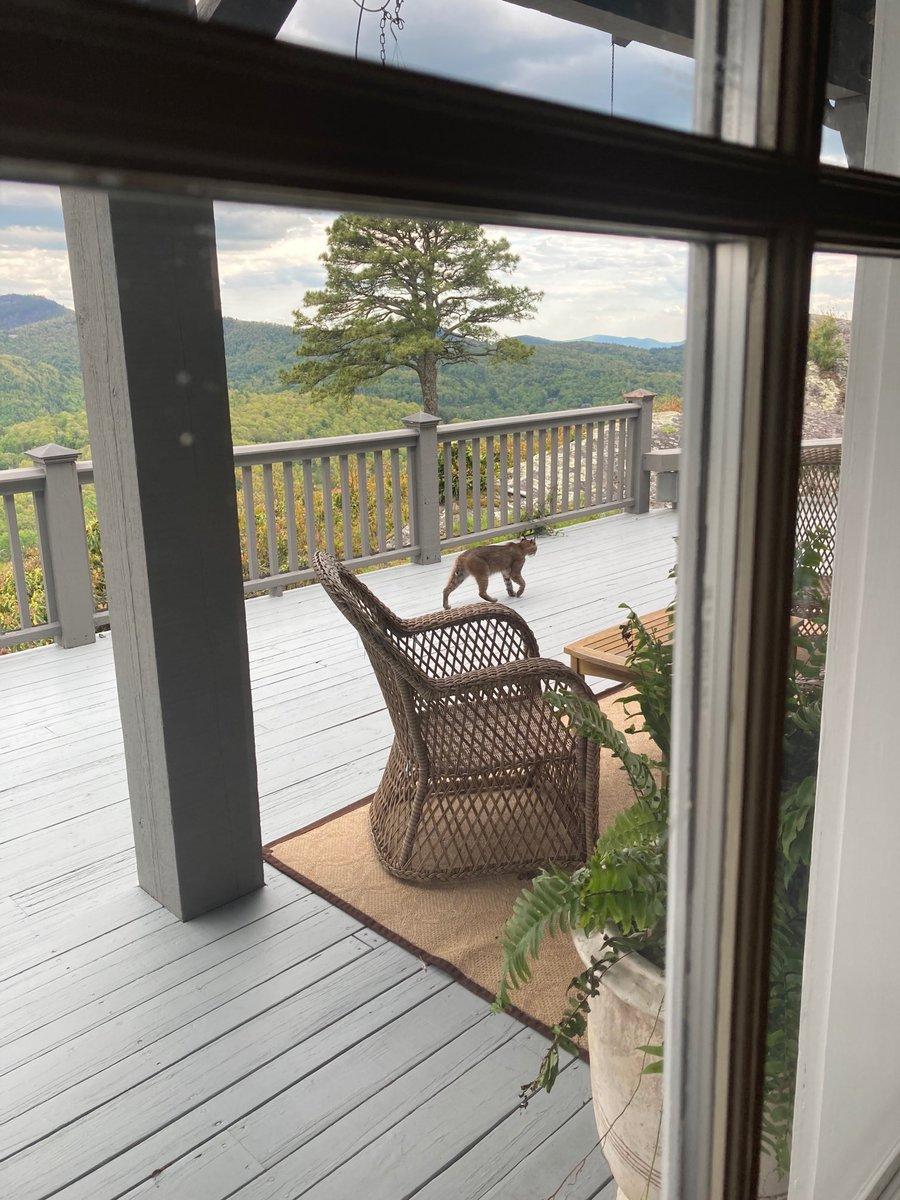 RT @averagehiker: Bobcat back for a visit on Dad's back porch. https://t.co/WOn8rLG9Kh