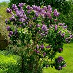 Image for the Tweet beginning: Stop and smell the lilacs.