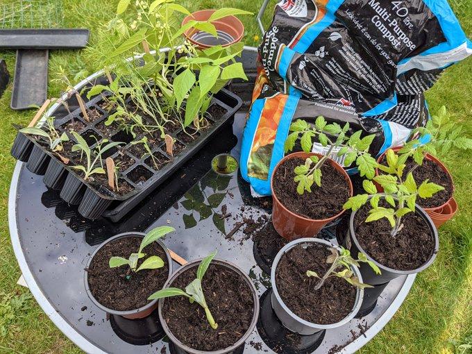 Graduated seedlings