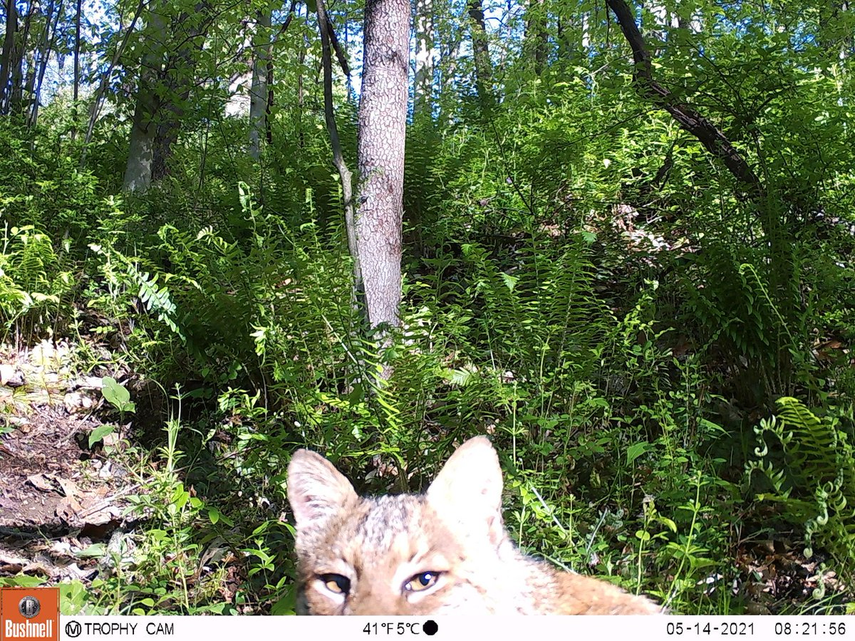 RT @WildCoshocton: Judgmental bobcat, judging the angle of our camera trap  (Click to see full images) https://t.co/Sr9V1UURh1