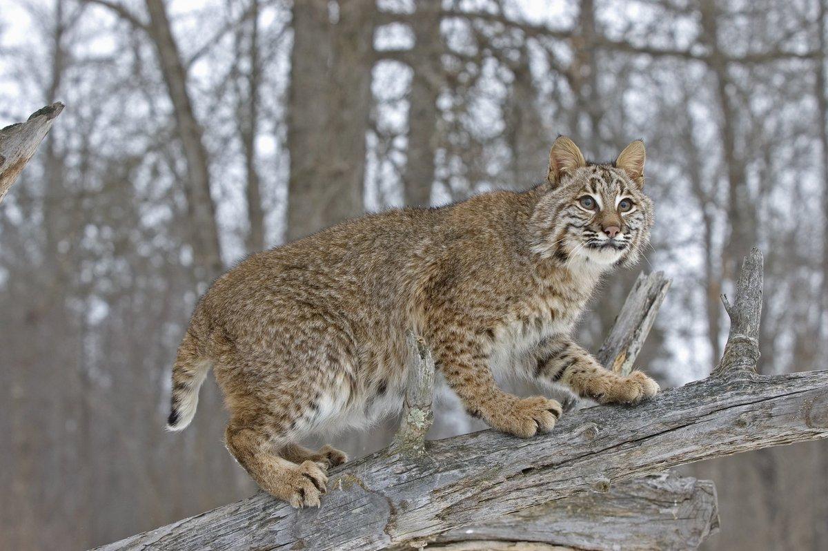 The Virgin Bobcat vs The Chad Lynx https://t.co/pivymk8h47