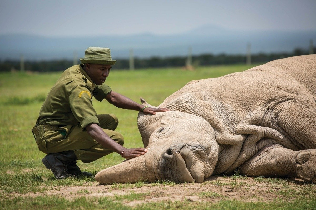 The end of an era..  The northern white rhino which survived 55 million years and saw ice ages, earthquakes, meteor strikes and was testament to innumerable historical changes on the planet could not survive humans.   The great beast is now functionally extinct. https://t.co/I2wCFGxWlz
