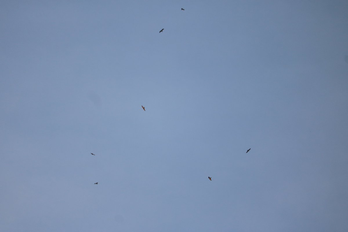After a long time, saw several Pariah Kites using thermals over the #Hyderabd this evening https://t.co/KQa6d96ic2