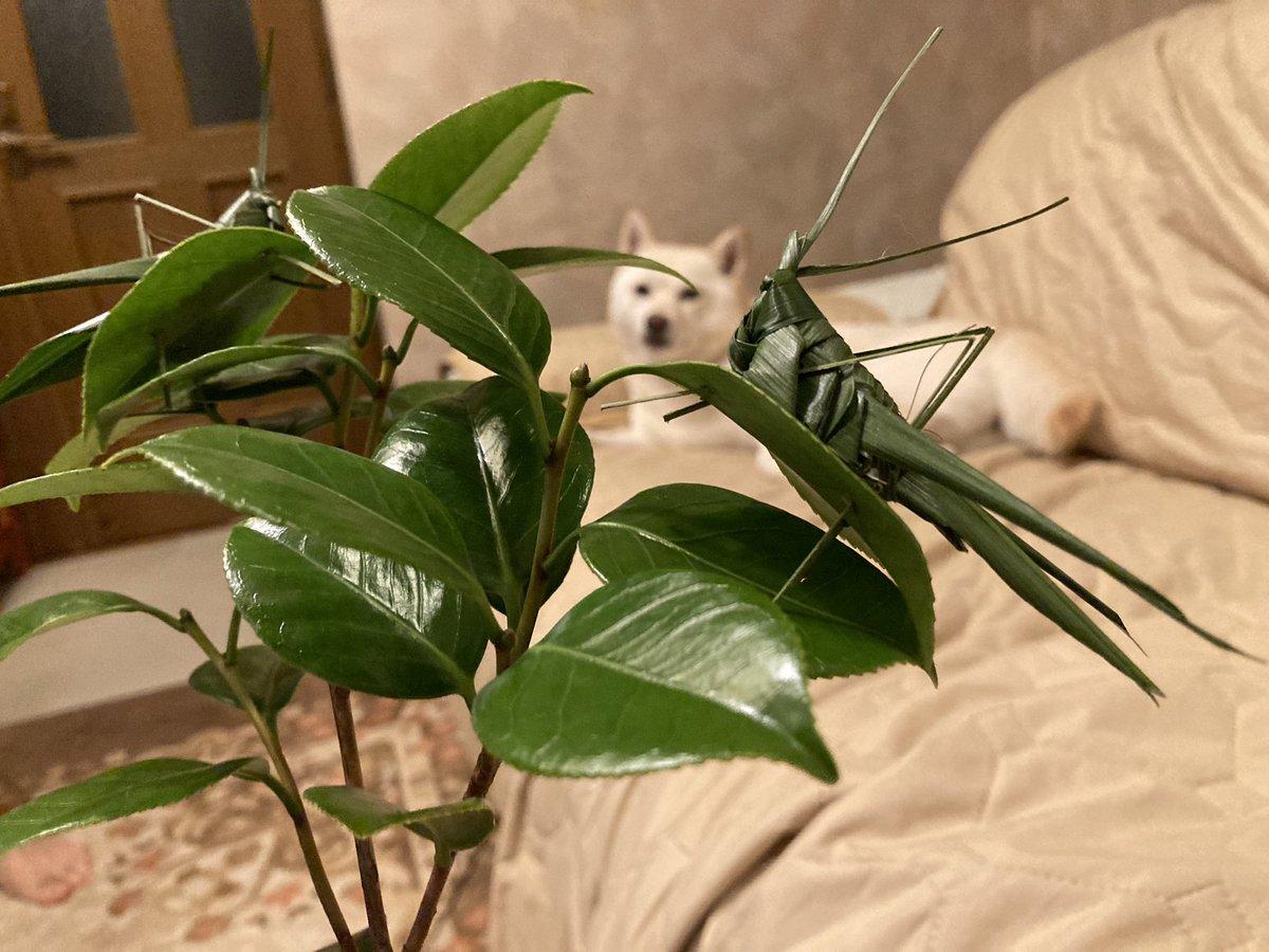 クオリティが高すぎて本物にしか見えない!犬の散歩中に貰ったという、葉っぱで作られたバッタ!